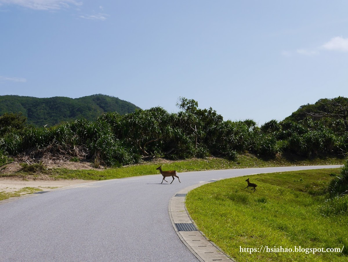 沖繩-慶良間鹿-Okinawa-kerama-deer