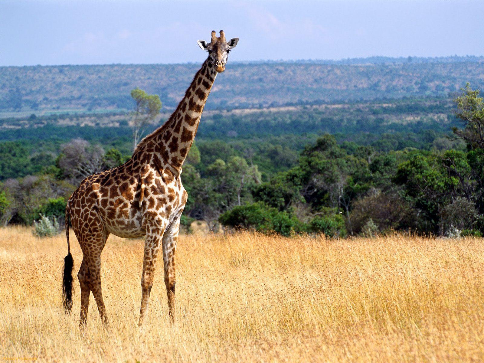 Beautiful Animals Safaris Safari Amazing Beautiful: Amazing African Animals: The Tallest Amazing Giraffe