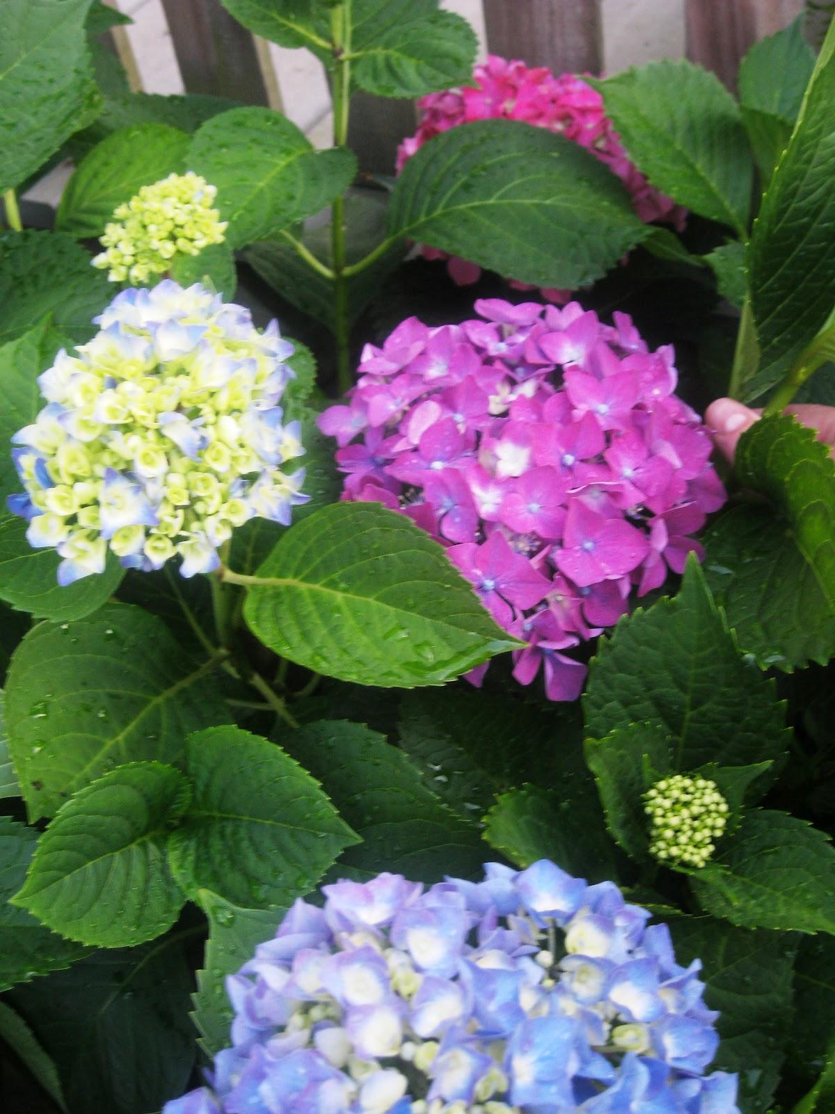 Tip Garden Thrifty Gardening How To Root Hydrangeas From