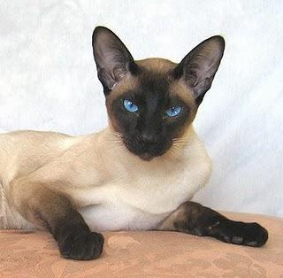Kami Sayang Kucing Kucing Siam