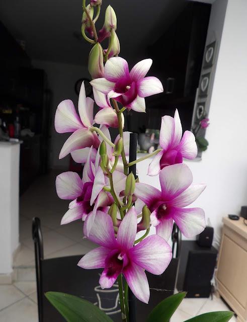 "Dendrobium Phalaepnosis ""Polar Fire"" Achat02"