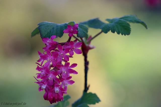 floraison printanière rose