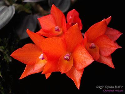 Orquídea Sophronitis cernua