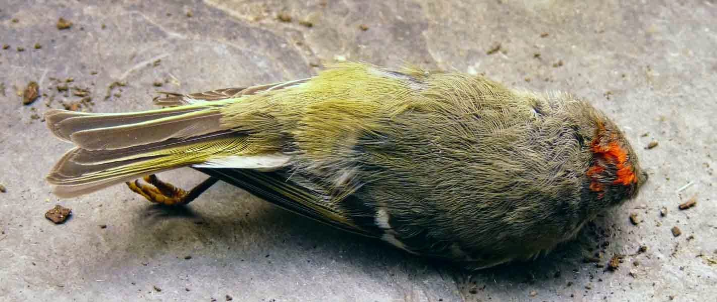 ruby-crowned-kinglet killed by window collision