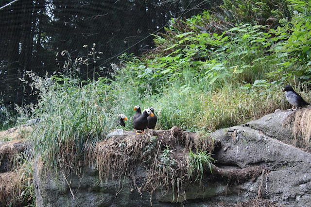 Puffins relaxing at Point Defiance Zoo