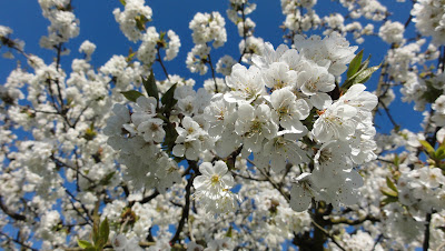 Blühender Kirschbaum bei der Schriberweid nahe Bannwil