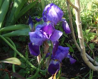 Lirio (Iris germánica)