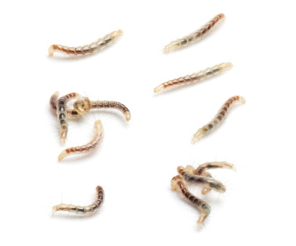 Flea larvae are the next stage in the cycle. They are hatched from mature eggs.