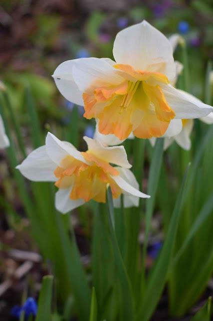 Narcissus Cassanova