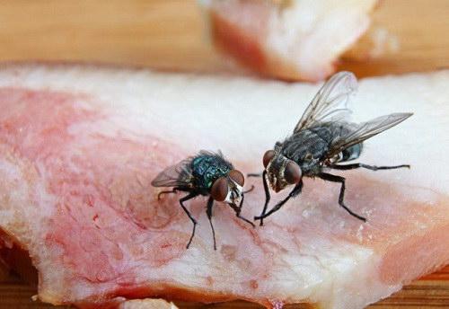 Chuyện gì xảy rau khi ruồi, nhặng đậu lên thức ăn?