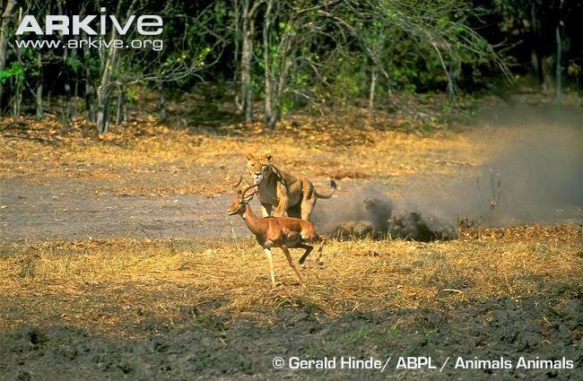 Lion hunting Impala