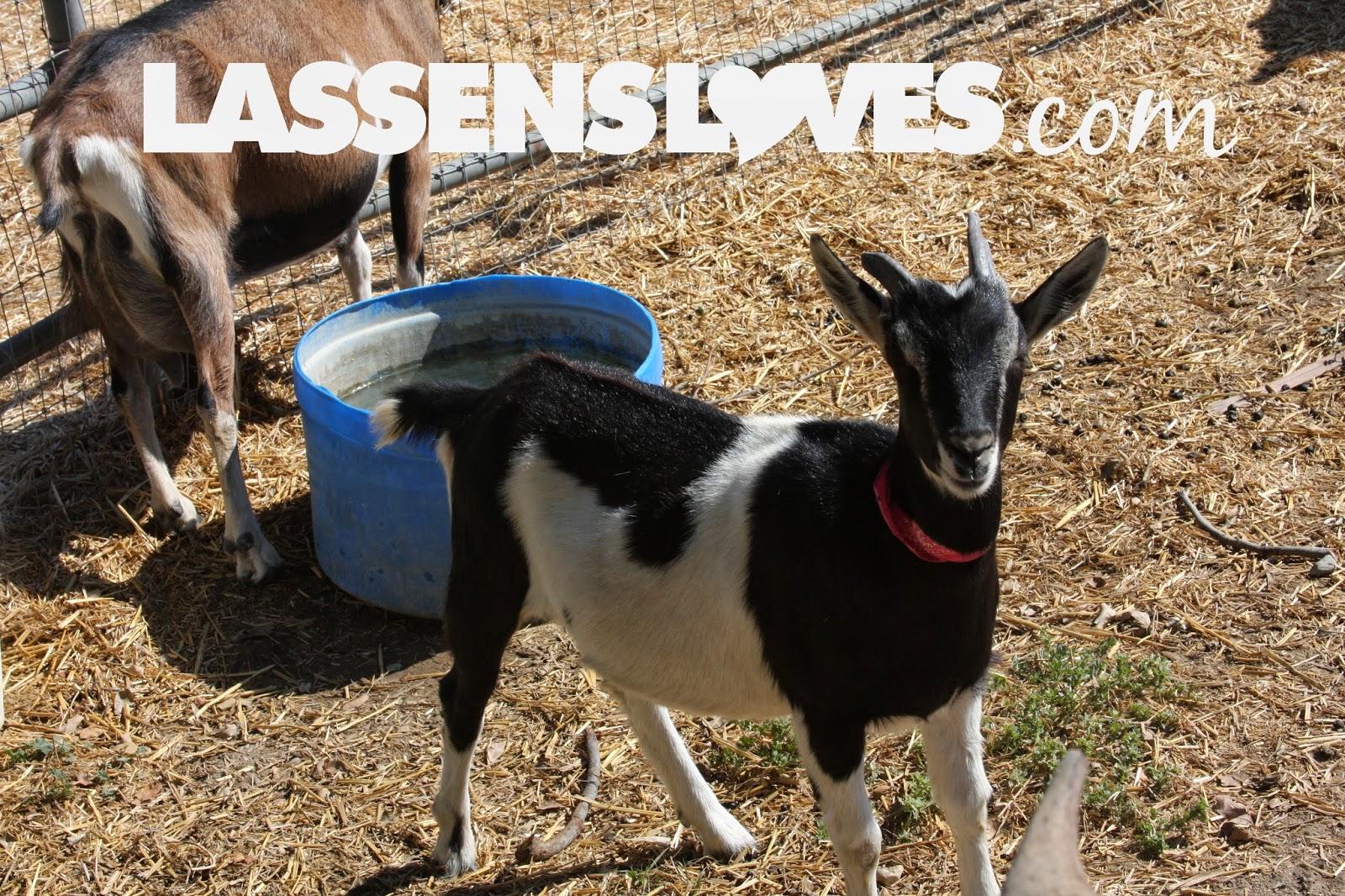 lassensloves.com, Lassen's, Chivas+Goat's+Milk+Skin+Care, Goat's+Milk