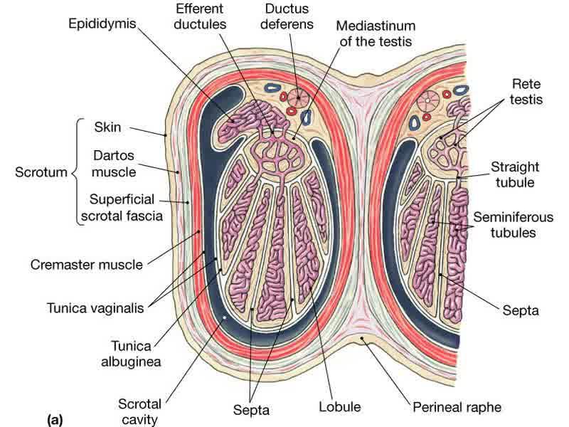 Udbetalingskalender asexual reproduction