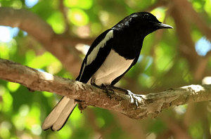 Hal yang Perlu Diperhatikan untuk Menghindari Perubahan Kinerja Burung Kacer