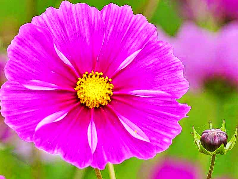 flowers, cosmos, flower bud