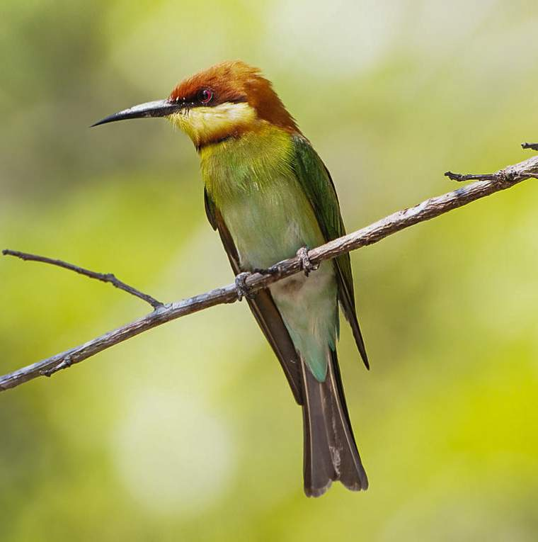 Chestnut-headed bee-eater photos | Birds of India | Bird World - photo#8
