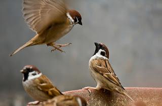 Tiếng chim sẻ mp3 dùng để bẫy cực chuẩn và trong