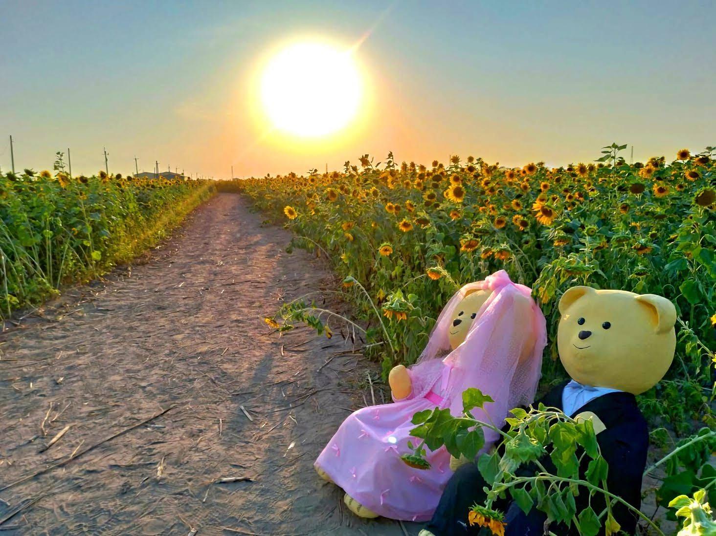 新營也有超美花海!|姑爺里向日葵、波斯菊盛開~超~療~癒~