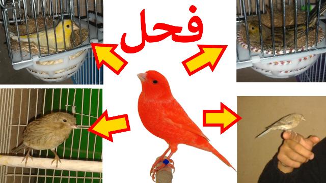 طائر الكناري يستطيع التزاوج من عدة إنات