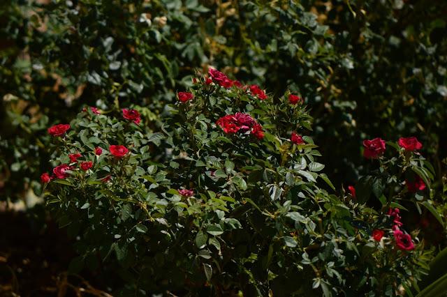 rose, daniela, small sunny garden, desert garden, miniature roses, amy myers, photography, kordes