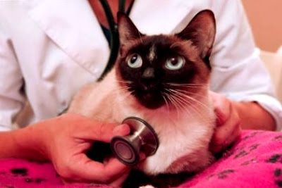 problemas de salud siames gato