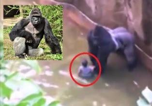 Toddler falls into gorilla cage