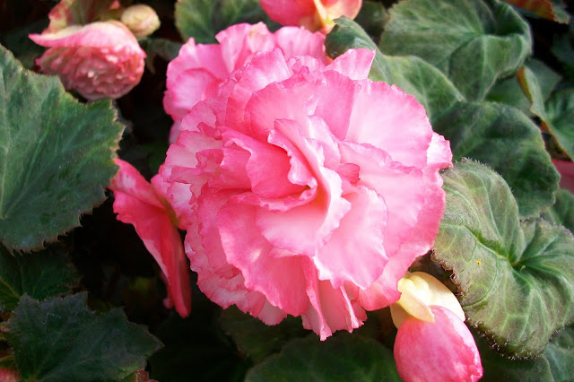 Pink Begonia Bloom at The Camellia, grown in one of our Summer planters