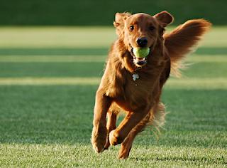Adestre brincando com seu cão. Durante as brincadeiras, com uma simples bolinha ou outro brinquedo, você pode ensinar comandos valiosos ao animal. E o melhor; é sem tédio, gritos ou surras!