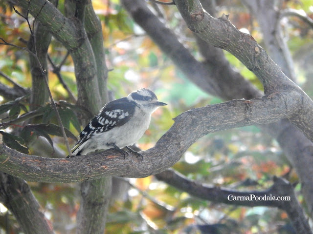 Baby Woodpecker -carmapoodale.com