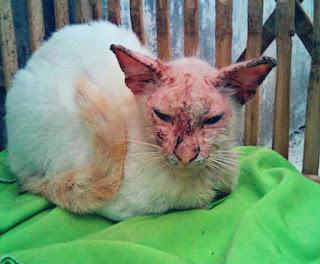 Penyakit Jamur pada Kucing