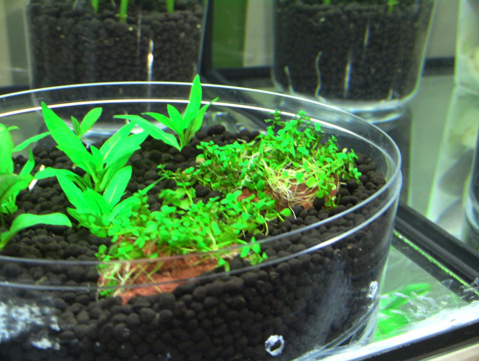Staurogyne repens and monte carlo. These are also cuttings from main tank and I would like to see how they will thrive in a low-tech tank. & Fish Plants and Hamsters: November 2014