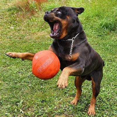 Rottweilers Dog Photo