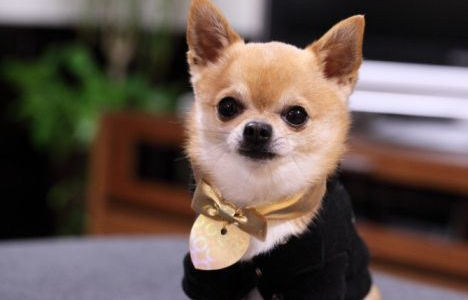 Pink Wallpaper With Cute Puppy Golden Retriever Cute Dogs Cute Chihuahua