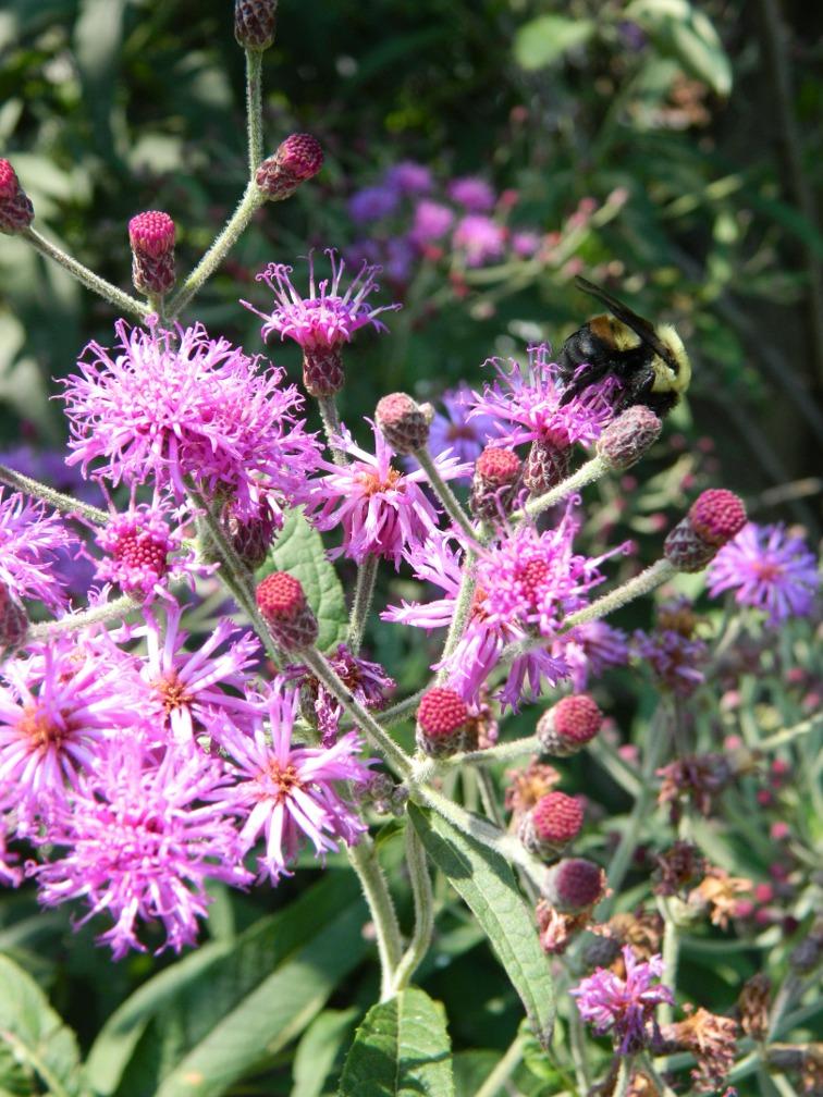 Ironweed Vernonia gigantea blooms ecological gardening by garden muses-a Toronto gardening blog