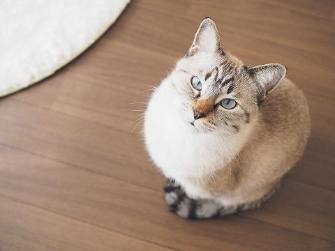 座ってるシャムトラ猫を真上から見たところ