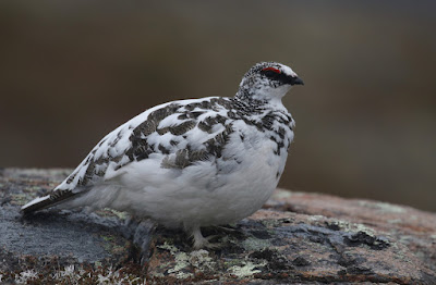 Male Rock Ptarmigan, partially moulted to winter plumage in Newfoundland