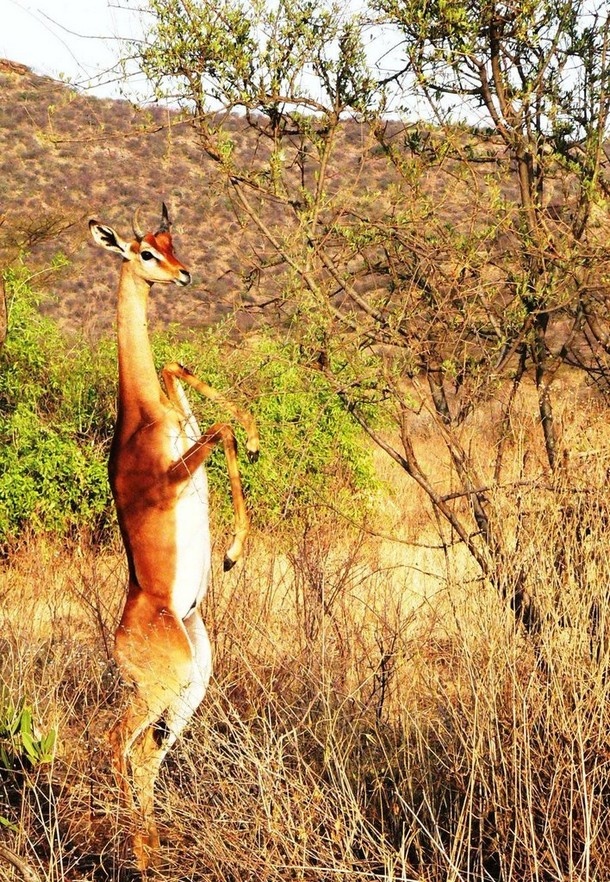 Real Animals You Didn't Know Exist The Gerenuk-1