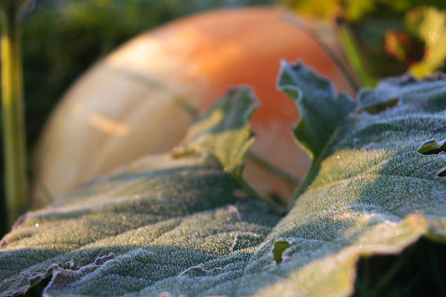 jesień, szron; dynia, liście