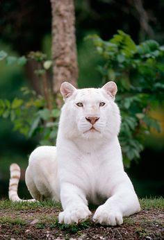 Em comparação com outros, os tigre-brancos tendem a ser maiores, tanto no nascimento quanto já adultos.  Eles são, geralmente, em parte tigre de Bengala ou do tigre da Sibéria.