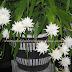 5 Manfaat Sehat Mengonsumsi Ramuan Bunga Wijaya Kusuma