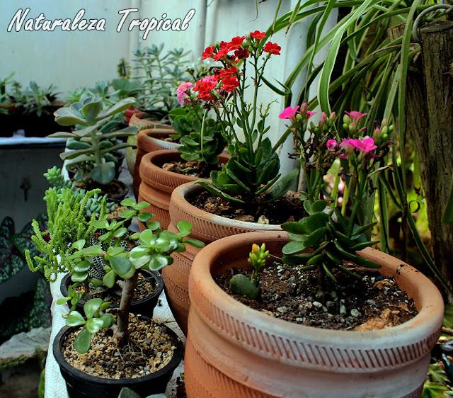 Colección de plantas suculentas en macetas