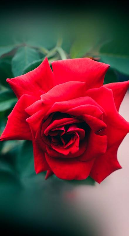 Wallpaper Hd Nature Flower Rose Love Desktop Wallpapers