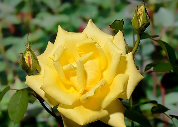 Berolina rose сорт розы фото