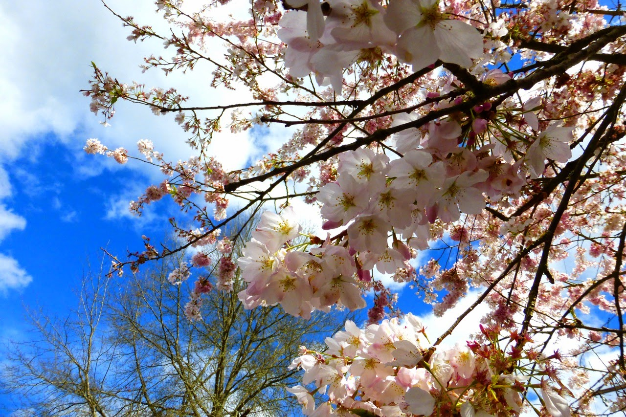 ume hamami, first day of spring, under a plum blossom tree, pink plum blossoms, plum blossoms, pink blossoms, blue sky