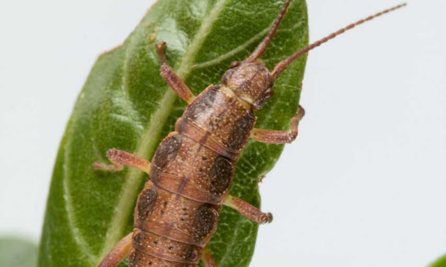 Comes naturally? Using stick insects, scientists explore natural selection, predictability