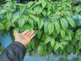 Pohon cabe Jawa tanaman hias herbal