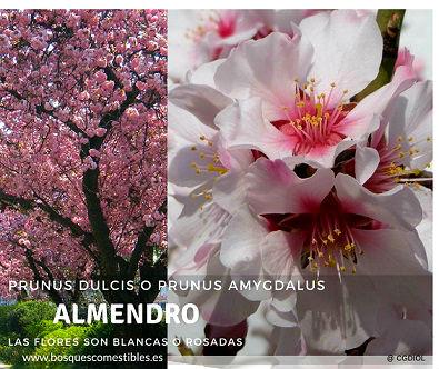 El Almendro, Prunus dulcis, es un árbol que puede llegar a 10 m de altura, de corteza rugosa ya grietada