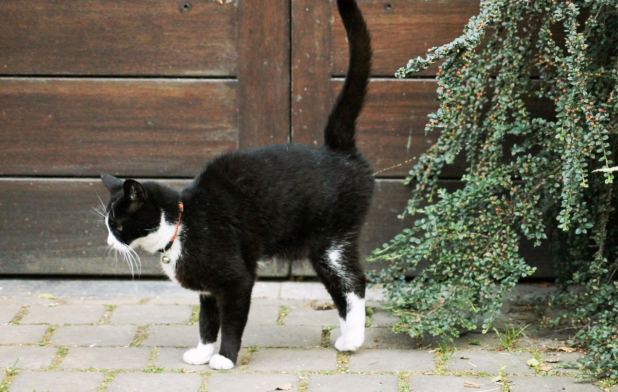TODO SOBRE MI GATO: La reproduccion en los gatos, fisiologia ...
