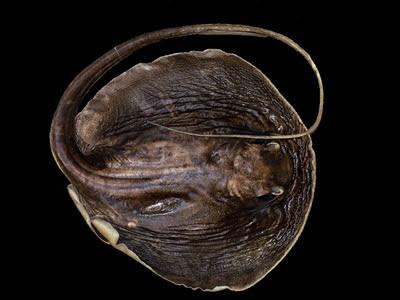 Makararaja chindwinensis