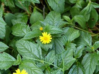 Sphagneticola trilobata - Gazon japonais - Singapore daisy - Patte à canard - Herbe soleil